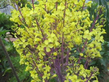 tntnH25-05-01葉ボタンの花 (1)