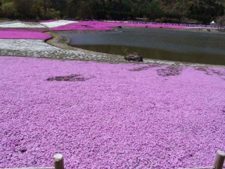 tntnH25-05-08本栖湖・龍神池の芝桜 (10)
