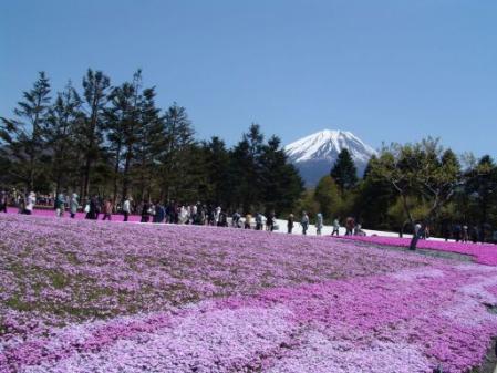 tntnH25-05-08本栖湖・龍神池の芝桜 (13)