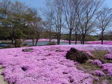 tntnH25-05-08本栖湖・龍神池の芝桜 (19)