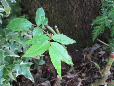 tntnH25-05-12挿し木のバラ (4)