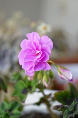 0421-19バラ咲きアイビーゼラニウム