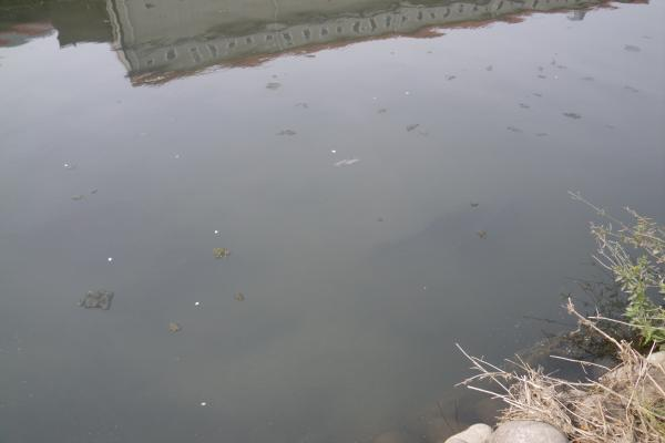 汚れた水の中で泳ぐコイ