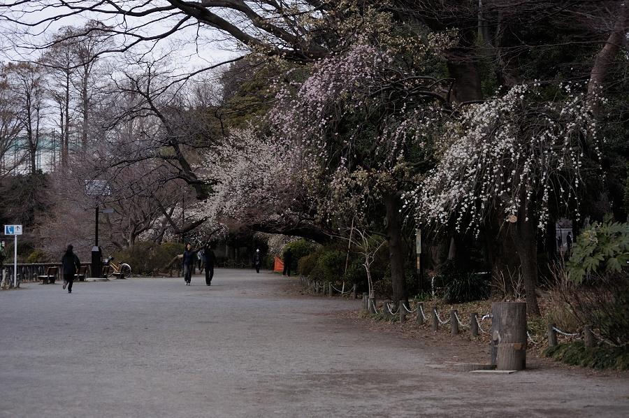 上池梅の咲く道_