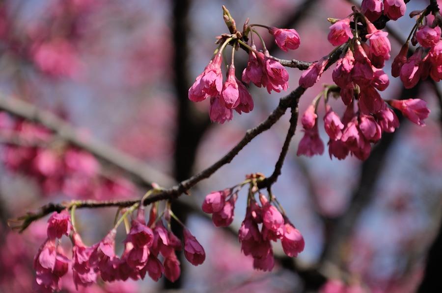 早咲き桜__01