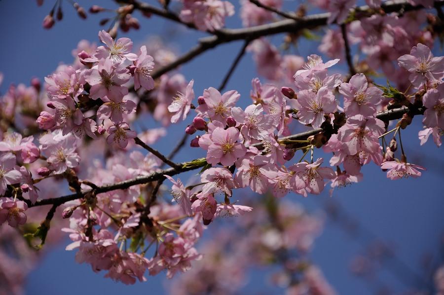 早咲き桜__03