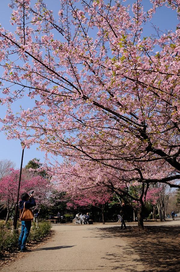 早咲き桜_