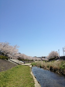 朝倉川と桜