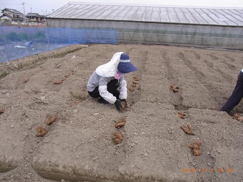 高知県産生姜