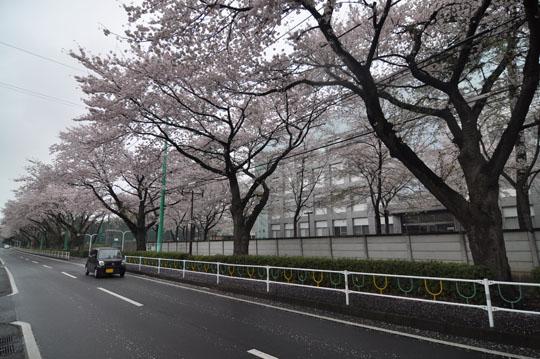000桜並木