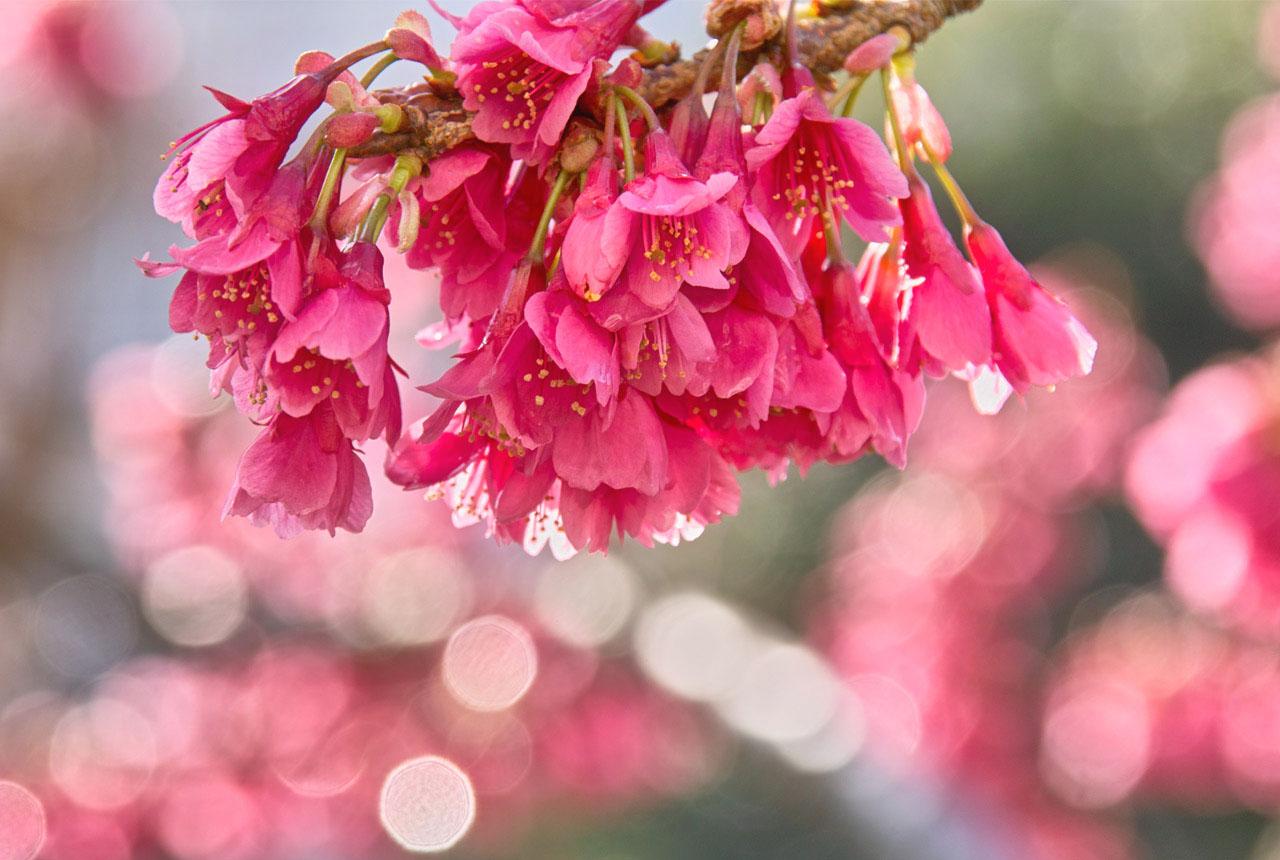 9564 カンヒザクラ(寒緋桜)B2 1280×860