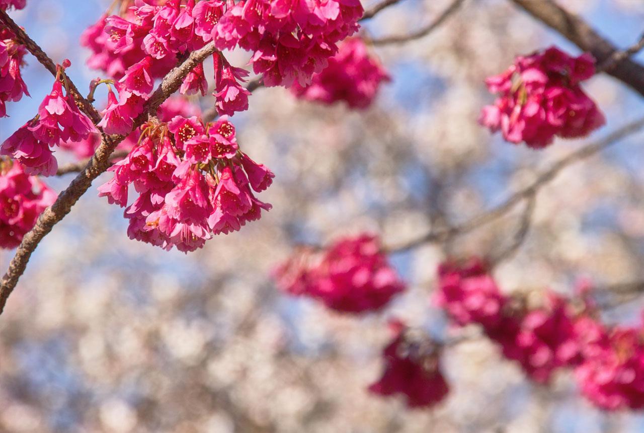 9570 カンヒザクラ(寒緋桜) 1280×860の
