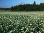 ソバの花と富士山