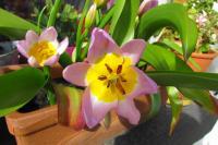 tulipsbirthday2