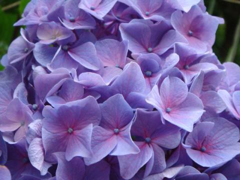 路邊の紫陽花七変化