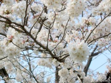 桜 3.24 アップ