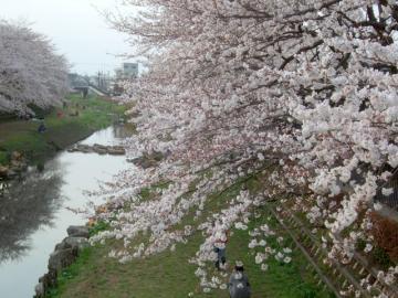 桜3.24 4