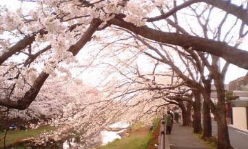 桜3.24  1