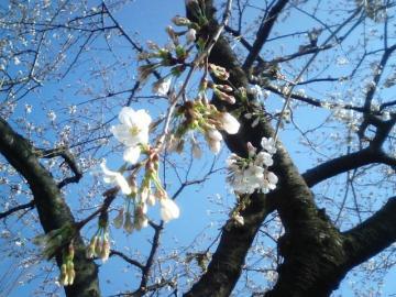 桜 3.21