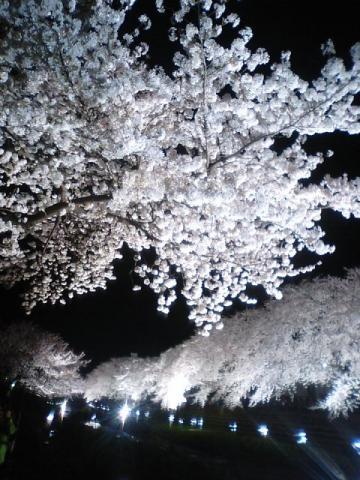 夜桜3.29 3