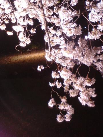 夜桜3.29 4 しだれ