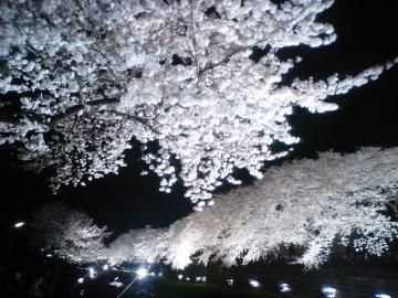 夜桜3.29