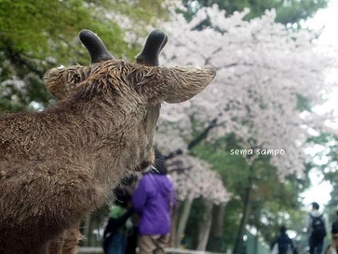 nara-shika3.jpg