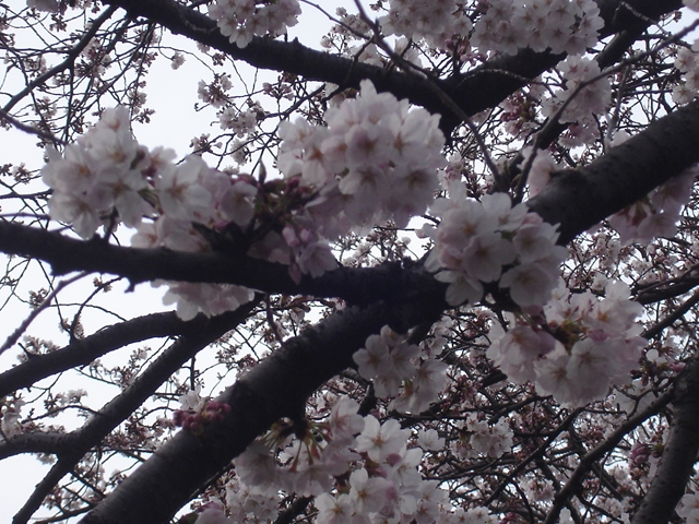 2012 4 7  Sakura 1_