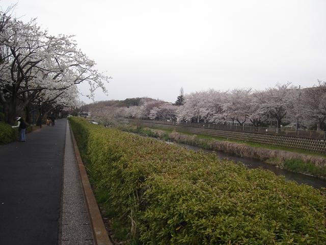 2012 4 7  Sakura 4_