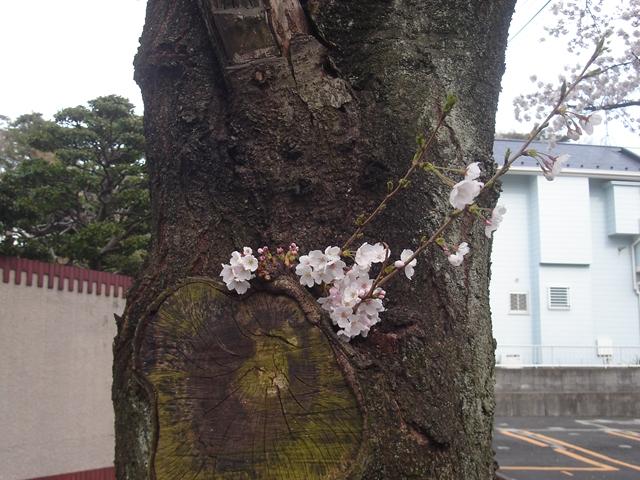 2012 4 7  Sakura 3_