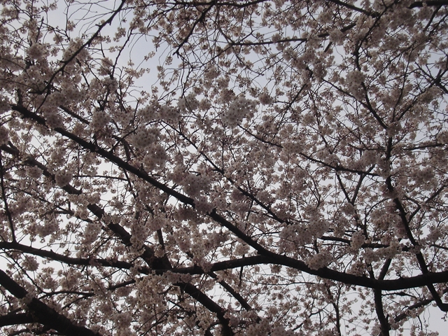 2012 4 7  Sakura 2_