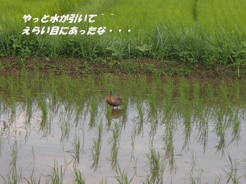 P7150335_convert_20130717084345.jpg