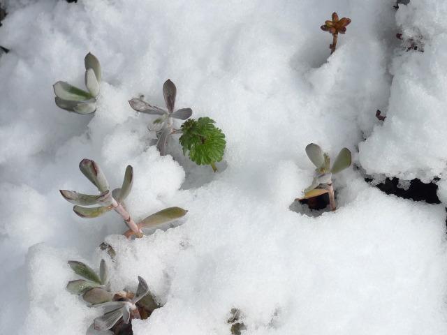 L1060989 鉢植えも雪に埋もれ