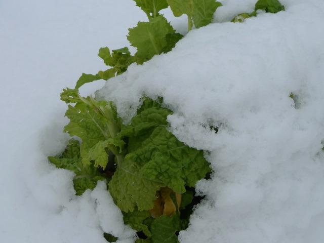 L1070039 白菜雪を被る