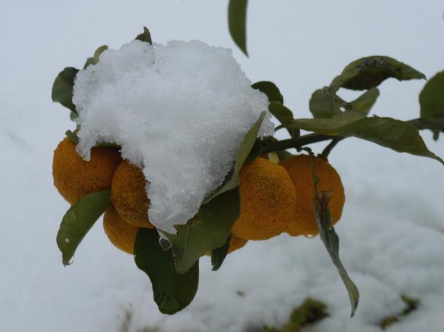 L1070076 雪を被ってユズ