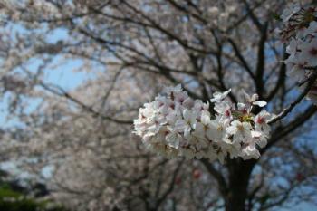 中村川桜 002