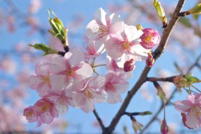 桜0331 のコピー