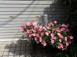 薬局の花2
