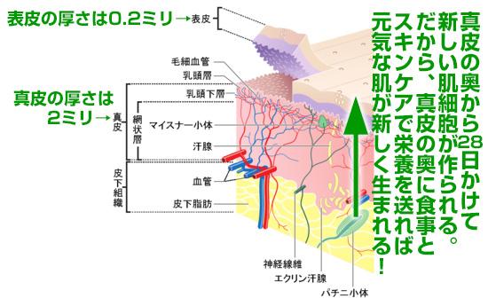 肌のメカニズム、ニキビ痕を治すために
