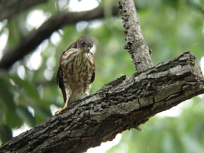 IMG_7595ツミ幼鳥-1、blog用縮小分