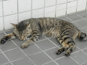 名護のネコ。