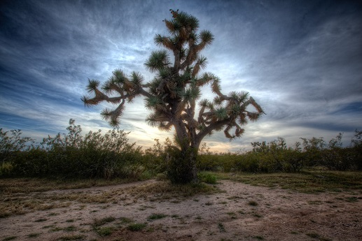 Joshua-Tree_tonemapped[1]