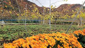 晩秋のブドウ畑