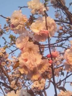 20130509 庭の桜