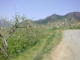 湯田中リンゴ畑