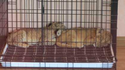 ライオンのあかちゃん