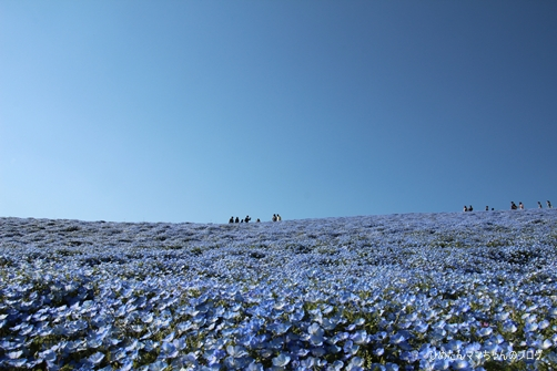 2013 海浜公園(ネモフィラ) 014