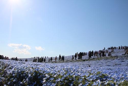 2013 海浜公園(ネモフィラ) 006