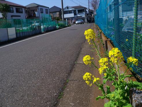 通りすがりに見かけた菜の花
