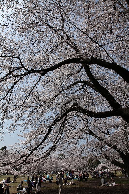 小金井桜2
